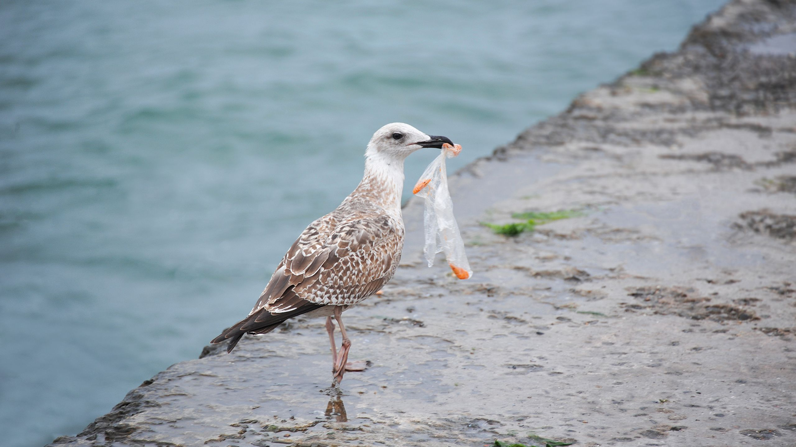 Seagull with a bag in its mouth.